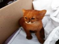 Jovem adota filhotes de puma pensando ser gatinhos