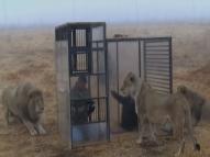 Turistas 'enjaulados' se arriscam em território de leões