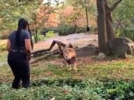 Vídeo: mulher invade jaula e dança em frente a leão