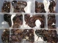 Chinês é preso ao tentar viajar com 200 escorpiões na mala