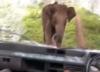 Elefante ataca veículo e estilhaça para-brisa